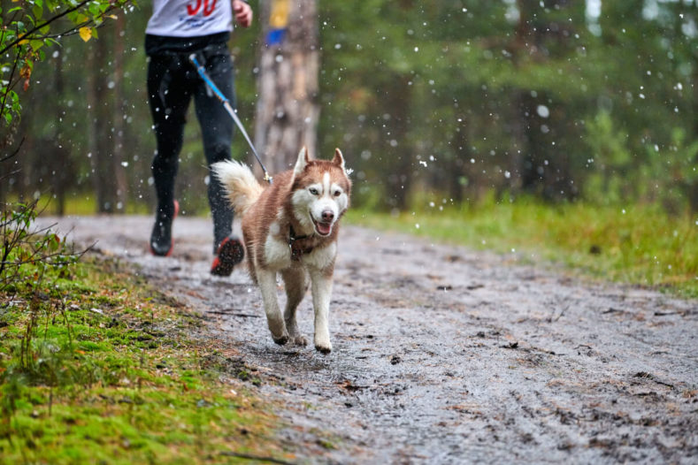 Husky dog running canicross with his owner wearing a canicross belt