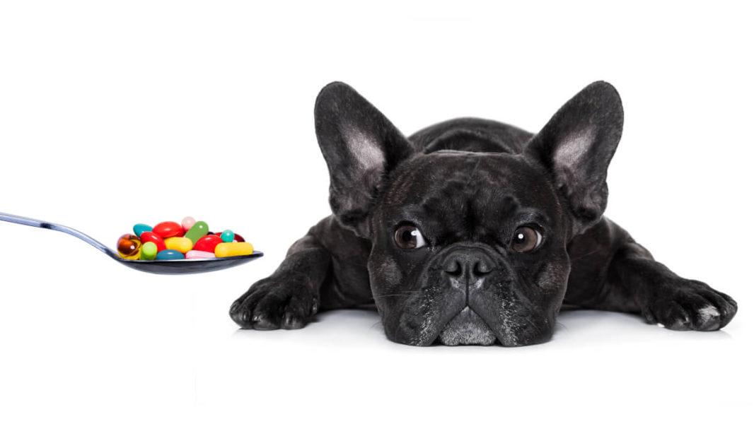 Bulldog français devant une cuillère de médicaments en comprimés