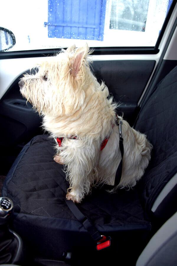 Westie Jahan portant un harnais en H et la ceinture de sécurité en voiture