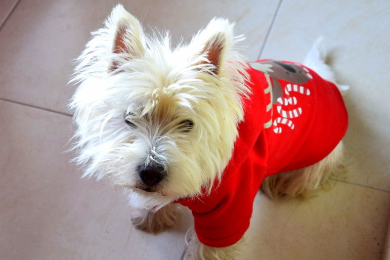 Westie en costume de Noël
