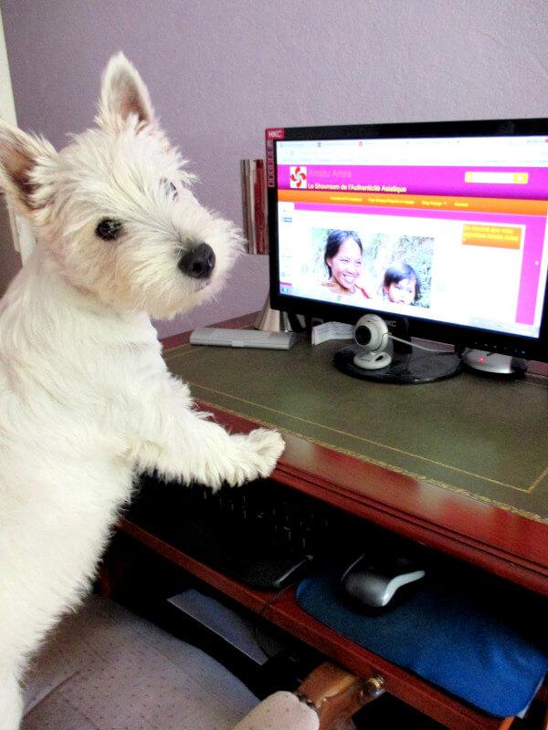 Westie Jahan travaillant sur l'ordinateur