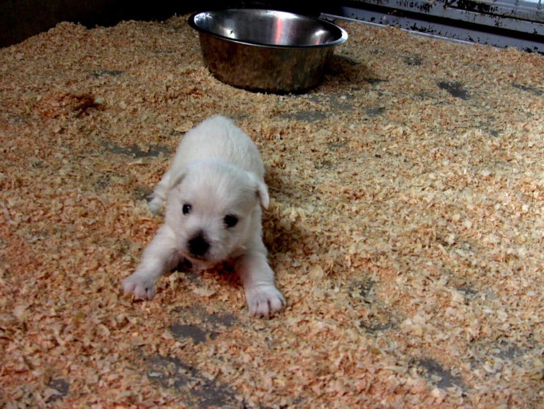 4 week-old westie puppy