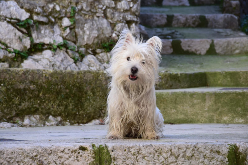Westie Jahan on old stairs in the South-East of France