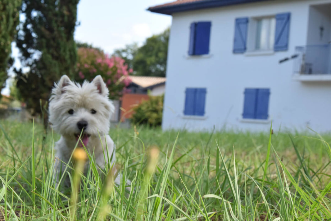 Westie Jahan in our garden in front of our house