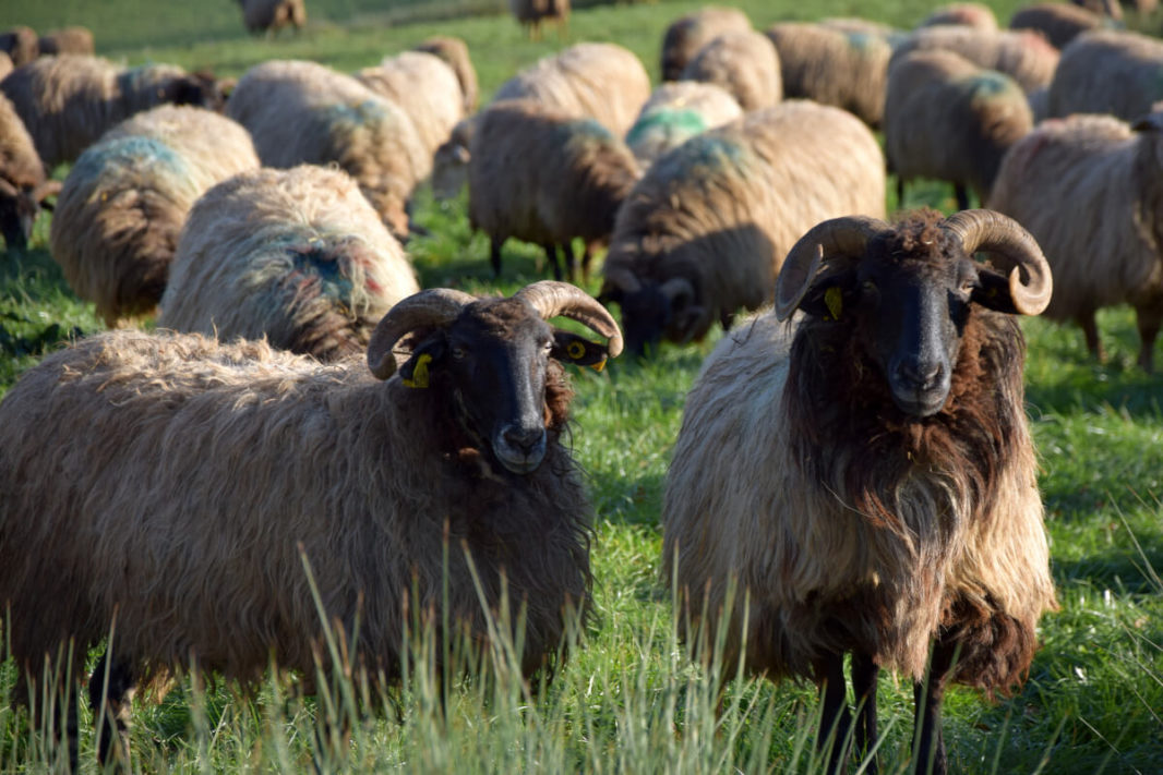 Several rams with black head