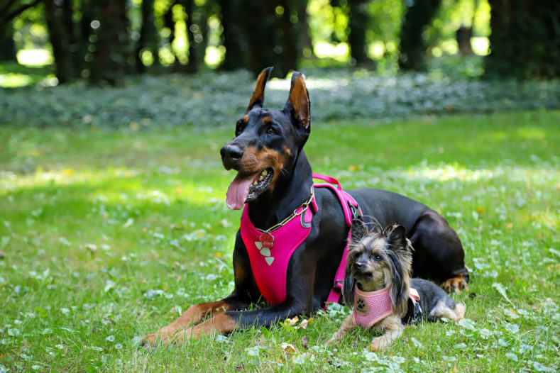Two dogs wearing harness