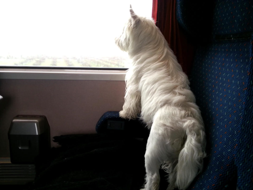 Westie Jahan looking at the window in a train