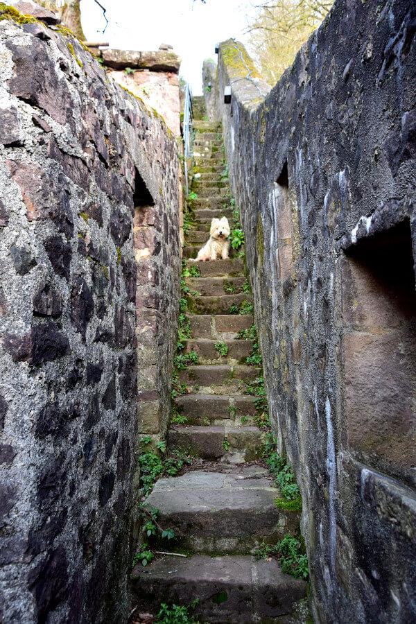 Westie Jahan on old stairs in Saint Jean Pied de Port
