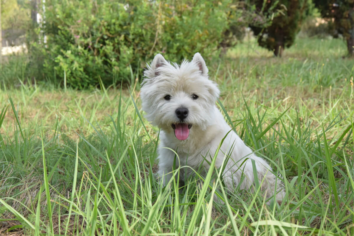Westie Grooming – How to Maintain the Westie Cut?