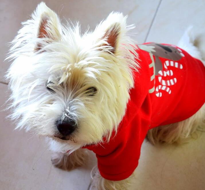 Westie Jahan en costume de Noël