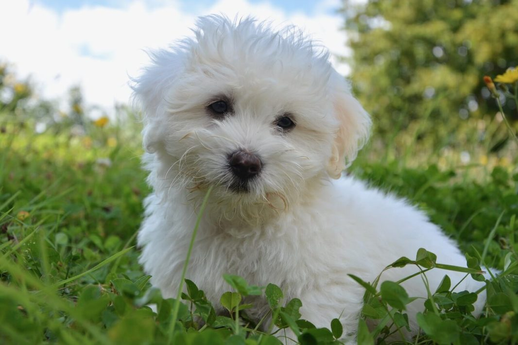 Chiot Cotton Tulear