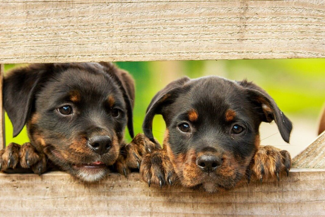 Chiots Rottweiler